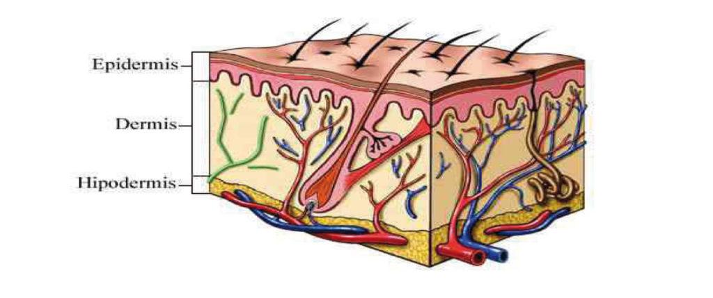 «Piel y cuero se refiere exclusivamente a la parte del cuerpo de los animales que compuesta por varias capas de tejidos celulares forma la cubierta externa de dicho cuerpo.»