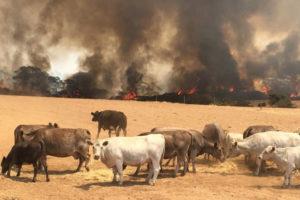 Los incendios diezman las reservas de ganado en Australia